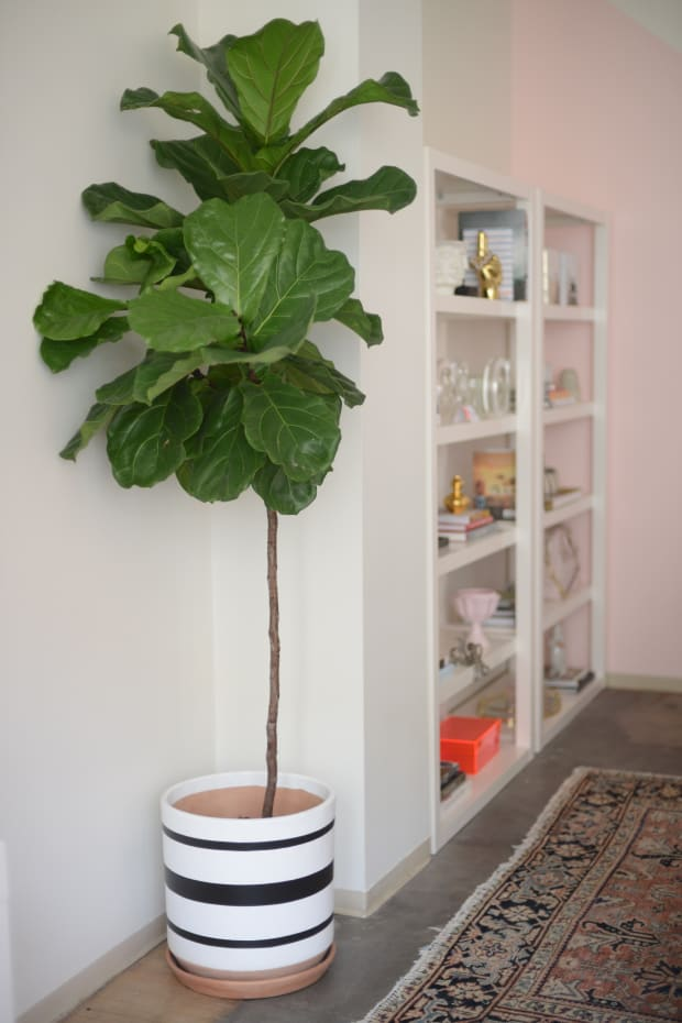 Office Reveal_Fiddle Leaf (1)