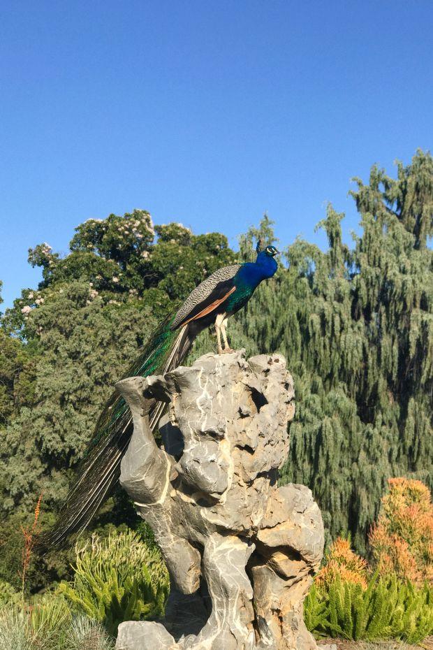 Peacock in the Pasadena Arboretum