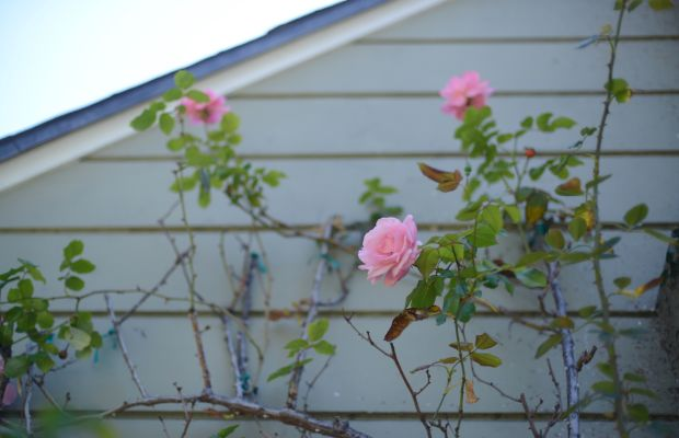 {Climbing roses in our front yard}