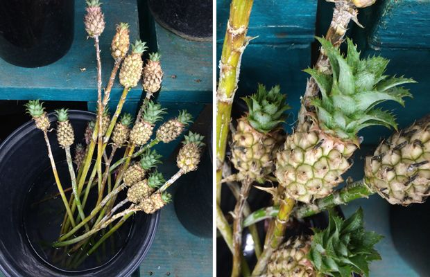 {The cutest mini pineapples at the Flower Mart}