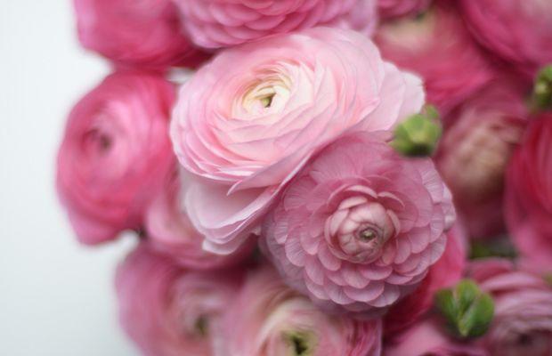 {Sweet pink ranunculus}