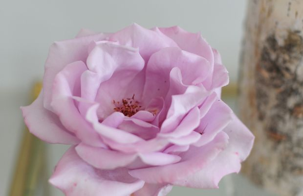 {Purple rose from our garden that smells even better than it looks}