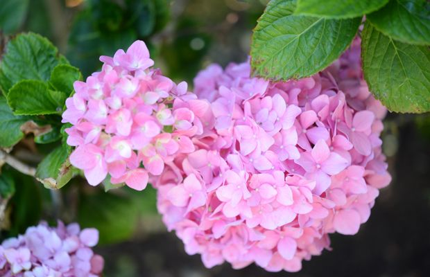 {A fun discovery in our front yard: pink hydrangeas}