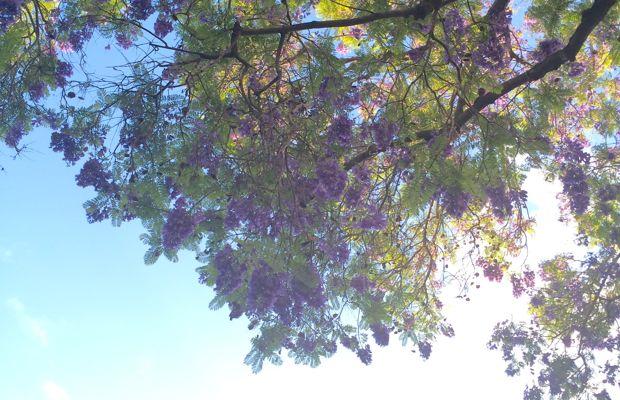 {Jacaranda-lined sky in Beverly Hills}