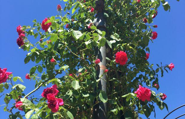 {Rose trellis in full bloom}