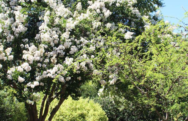 {Tree in full bloom at the Huntington Botanical Gardens)