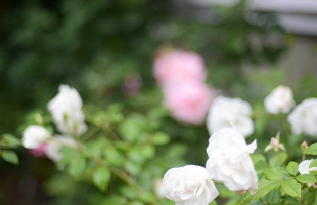 {Ombré roses in the back yard}