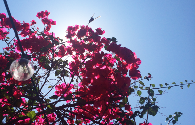 {Hummingbird + Bougainvillea on a hot afternoon}