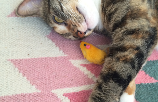 {Cali, perpetually with a toy mouse by her side}