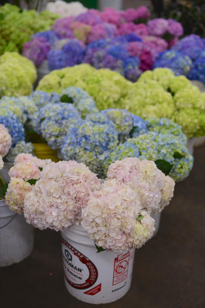 A sea of hydrangeas.