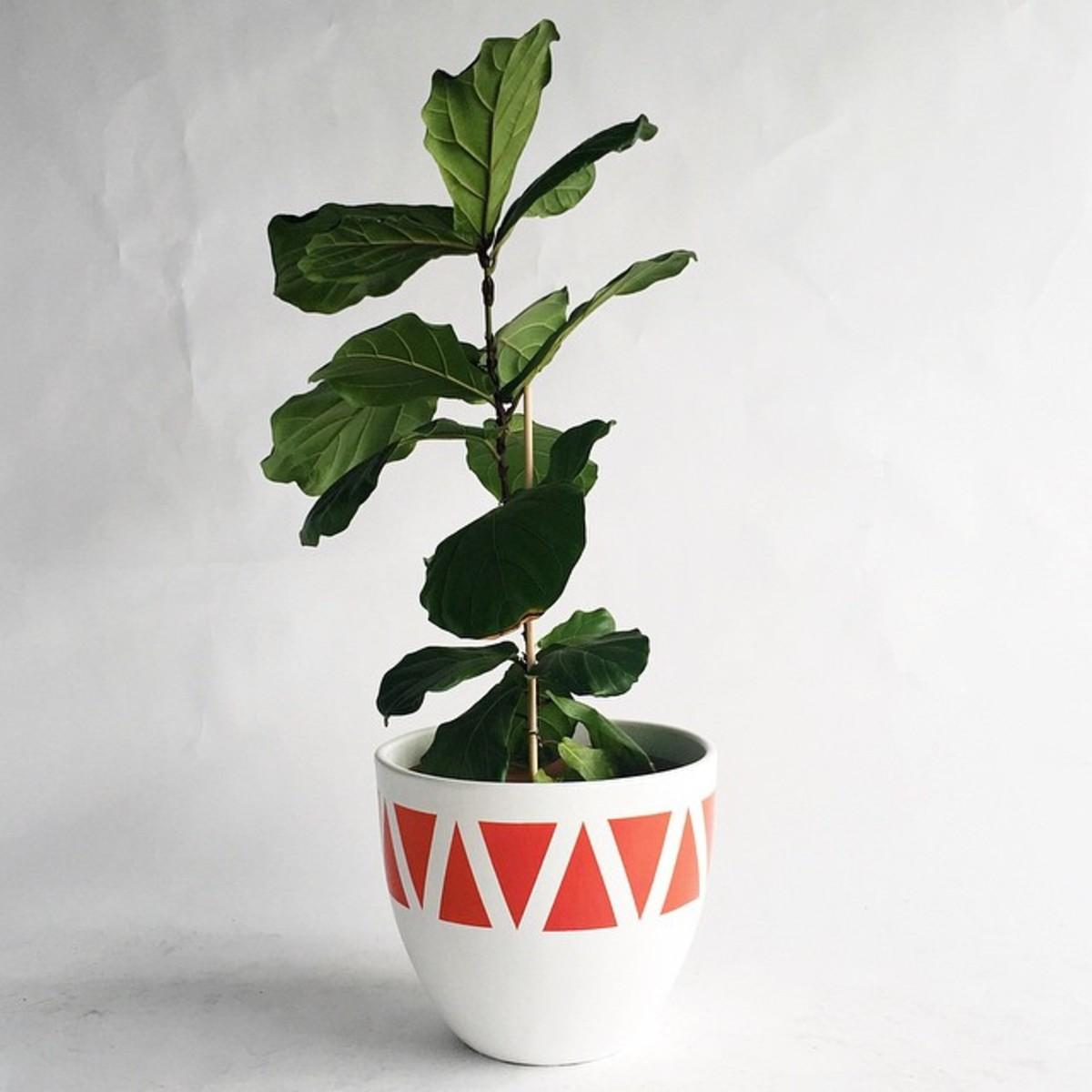 fiddle leaf fig.jpg