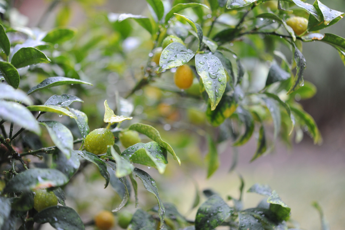 {Kumquats in the rain}