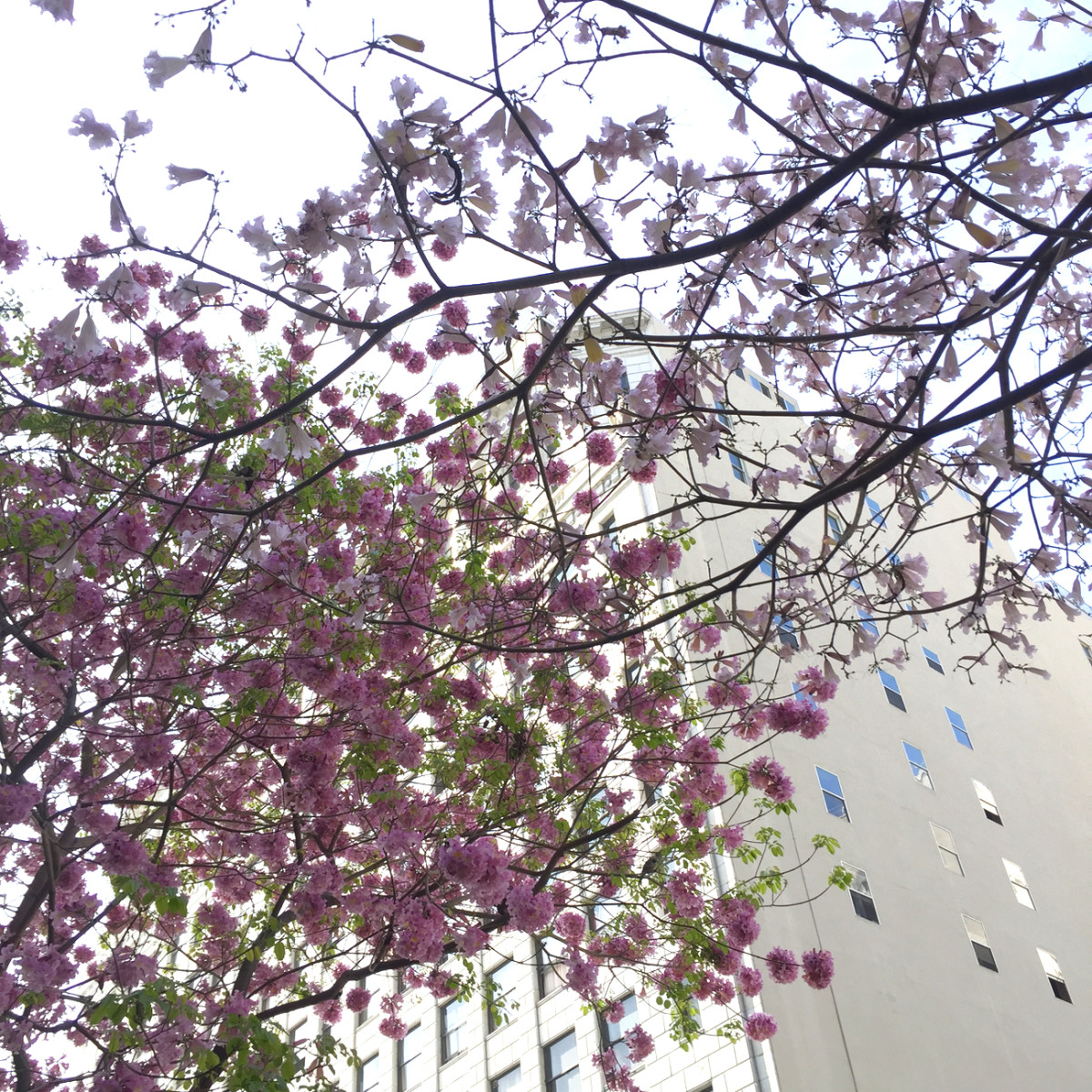 {Cherry blossoms that soften the grit of downtown}