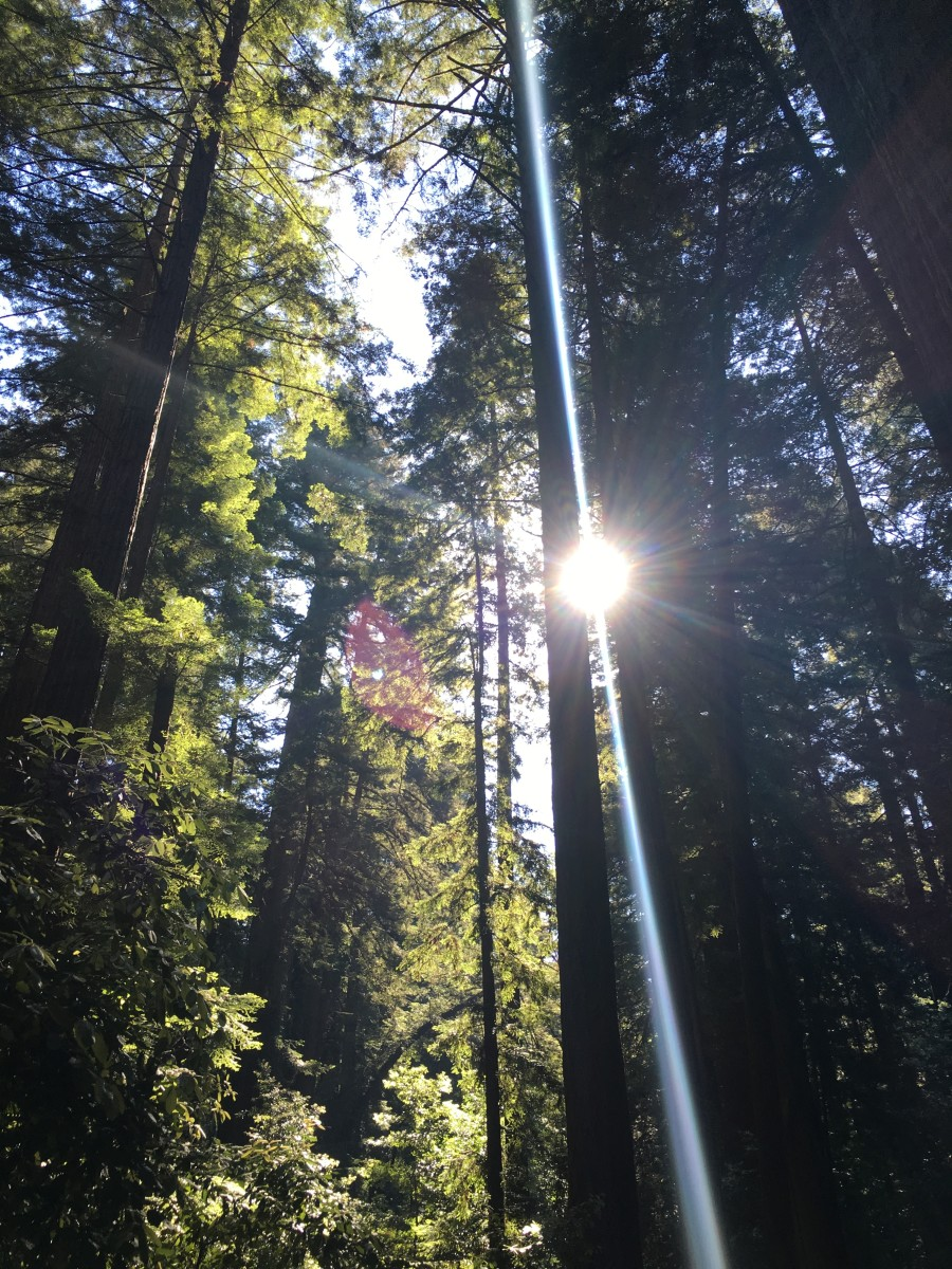 {Redwoods on a hike near my parents' house}