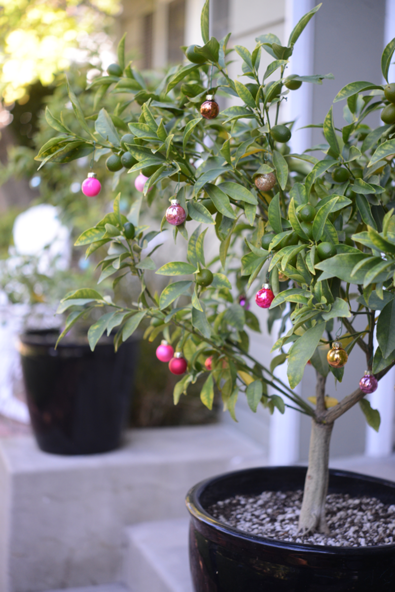 {Kumquat trees decorated with teensy ornaments}