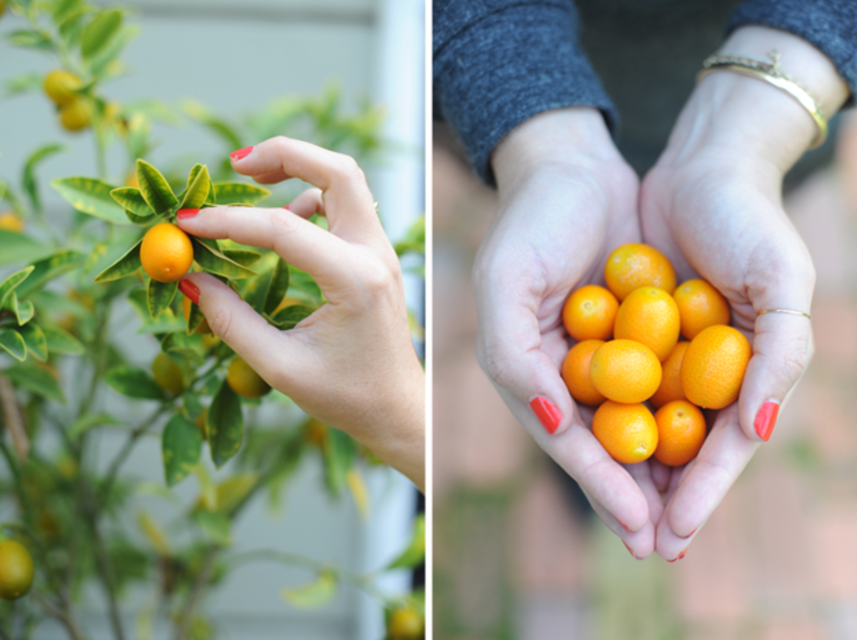 {First kumquats of the season from our trees}