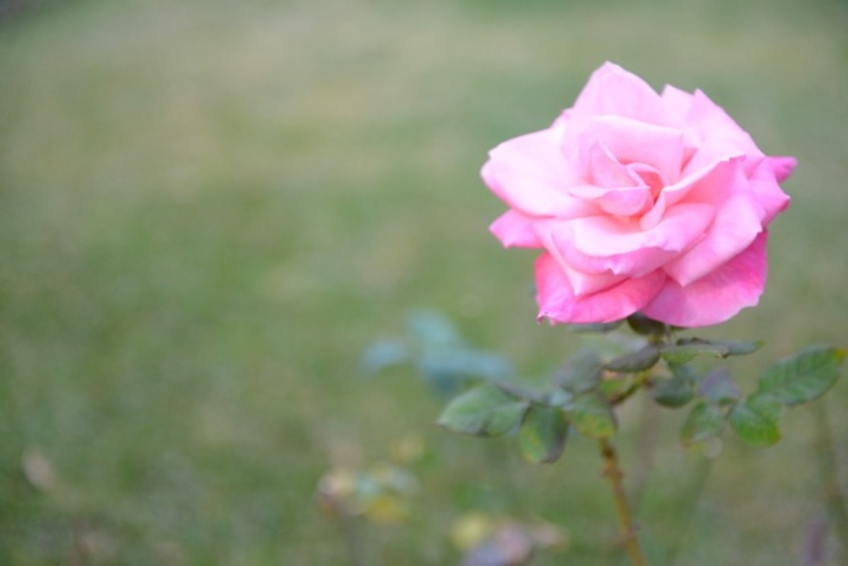 {Rose with a natural ombré at our house}
