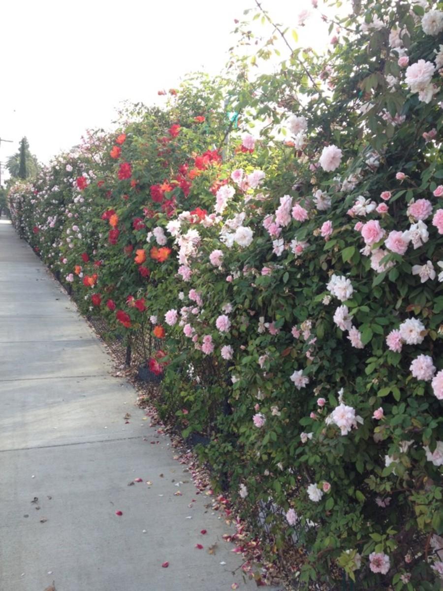 rose-wall