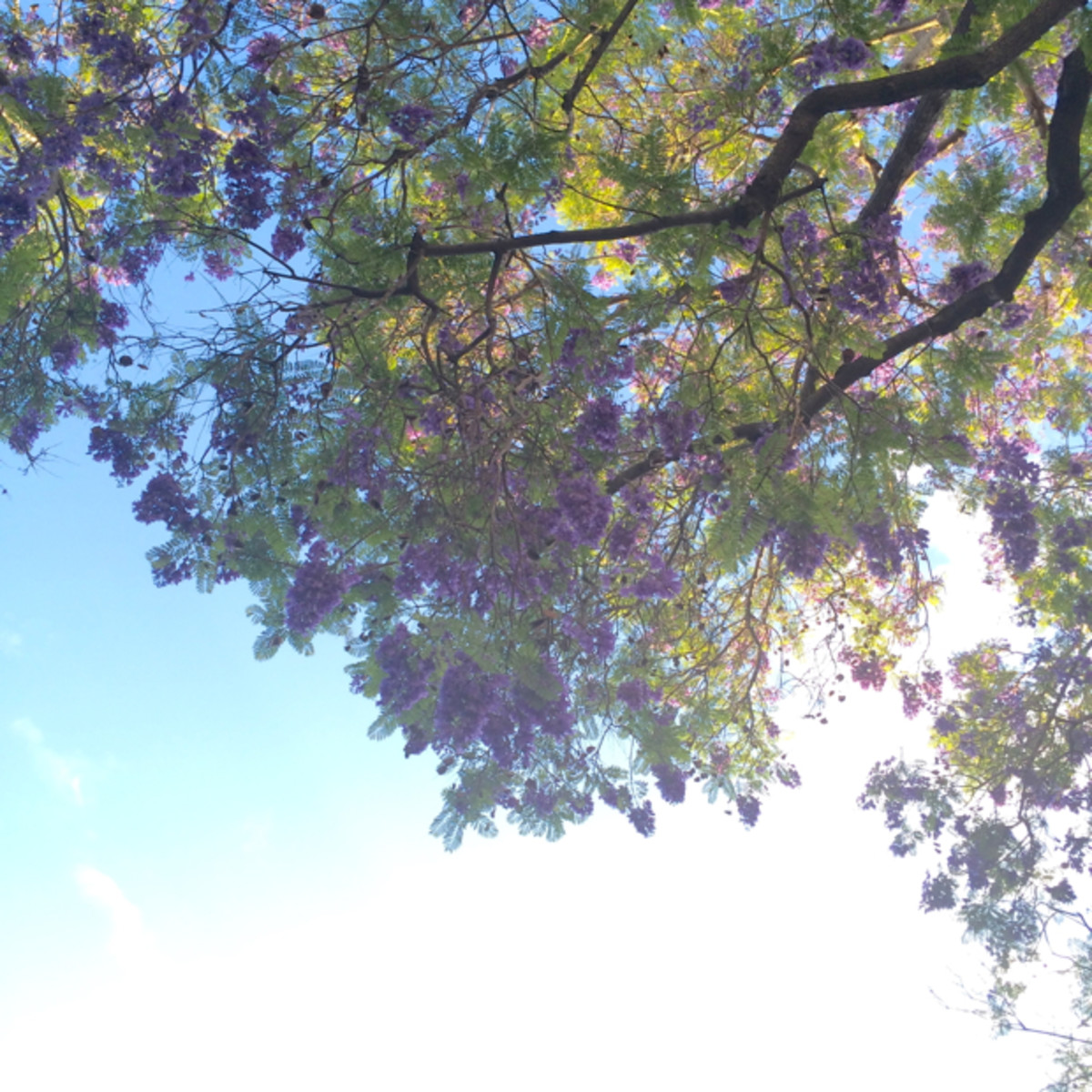 {Jacaranda-lined sky in Beverly Hills}