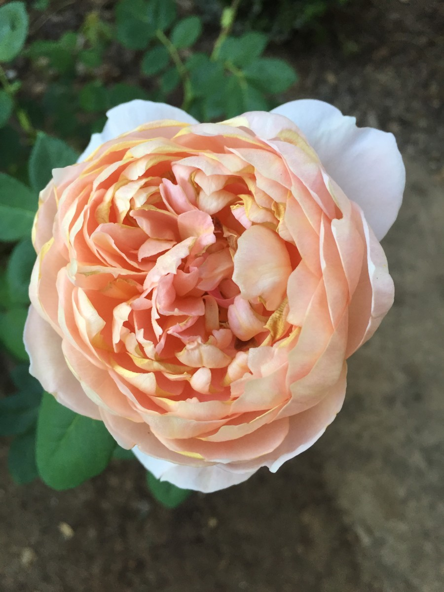 {The prettiest peach-colored rose from our front yard}