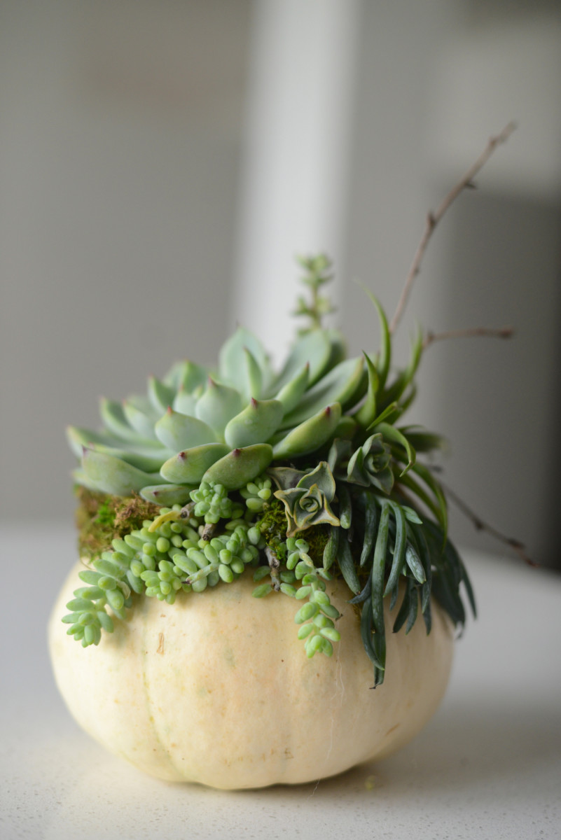 {Succulents inside a pumpkin brighten up the kitchen}