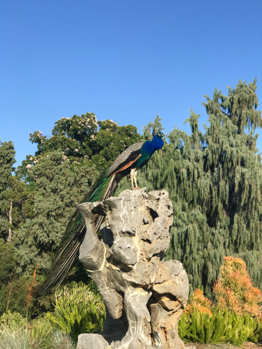 {A peacock at the Arcadia arboretum}