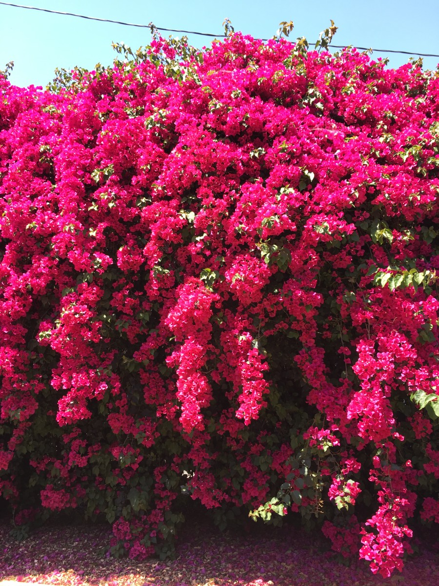 {A brilliant bougainvillea bush that looks like a saturated version of itself}