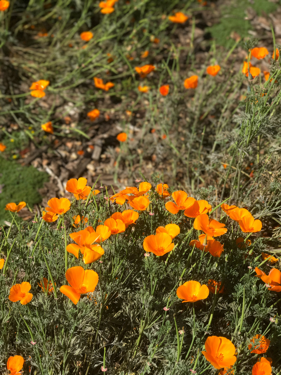 {California poppies on one of Sloan and my morning walks}