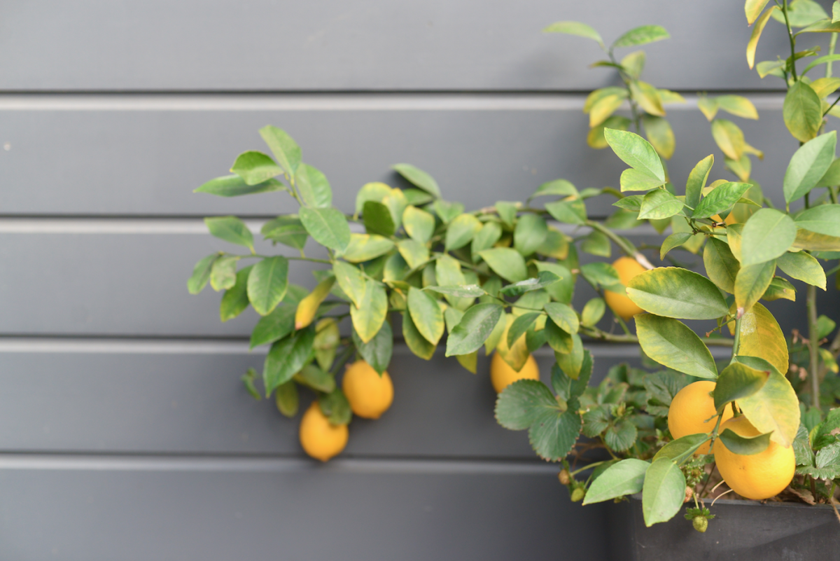{Our backyard lemon tree's bounty}