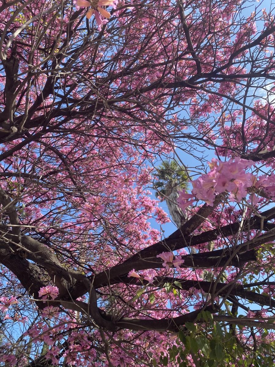 Fleurs de cerisier dans notre cour avant.